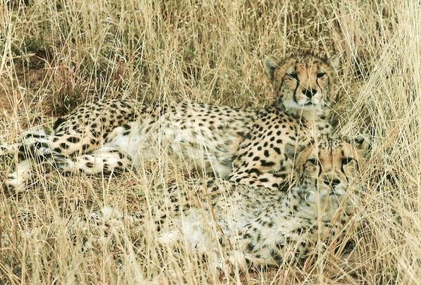 cheetah-142880_1280-pixabay-cc0-pubdom