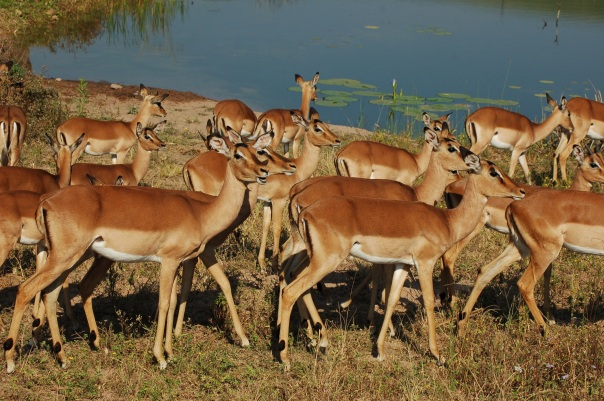 africa-2643575-antelope-pixabay-cc0-pubdom.jpg