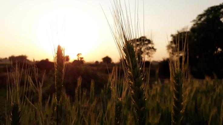 wheat-3222752-pixabay-cc0-pubdom.jpg