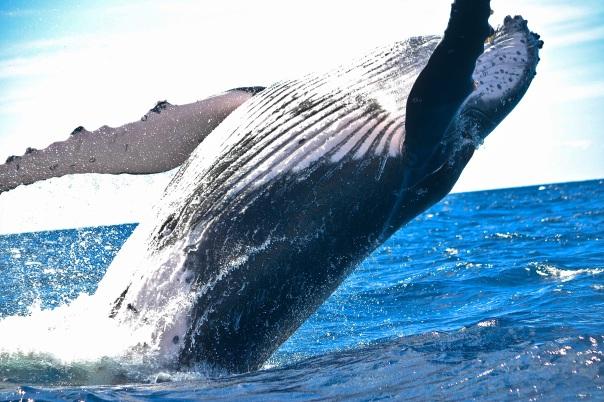 whale-animal-1850235-pixabay-cc0-pubdom.jpg
